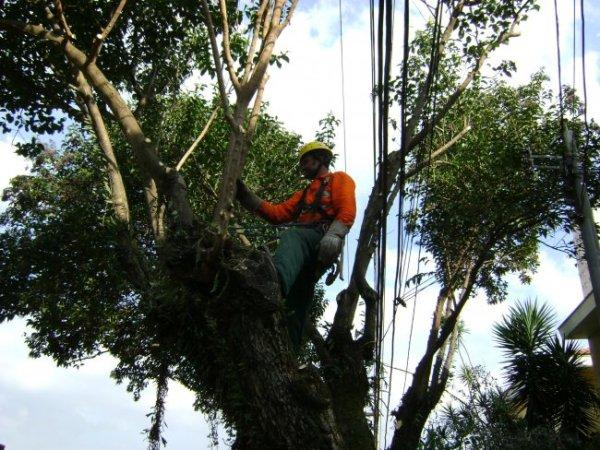 Podas devem evitar queda de árvores no período de chuvas. Foto: SindVerde